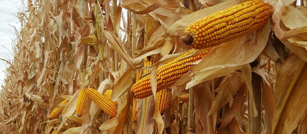 Humic Acid Benefits on Corn