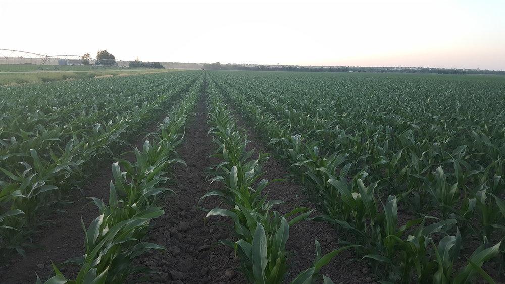 Humic Acid on Corn