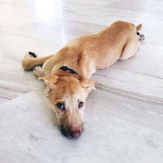 The Relocationiste takes cultural assimilation very seriously.  Which is why, in the Year of the Dog we have a new resident in our home. (That and the fact that I ran out of reasons to say no to my dog-mad son any longer....) Please say hello to Elwood.  #TheRelocationiste #Singapore #FabulousSingaporeLifestyles  #Expatlife #sglife  #rescuedog  #igsg  #littlereddot #nothingisordinary  #theprettycity #cityscape #urban #urbanjungle  #flashesofdelight #thehappynow #pursuepretty #momentsofmine #darlingmovement #abmlifeisbeautiful #makeyousmilestyle  #loveinthedetails