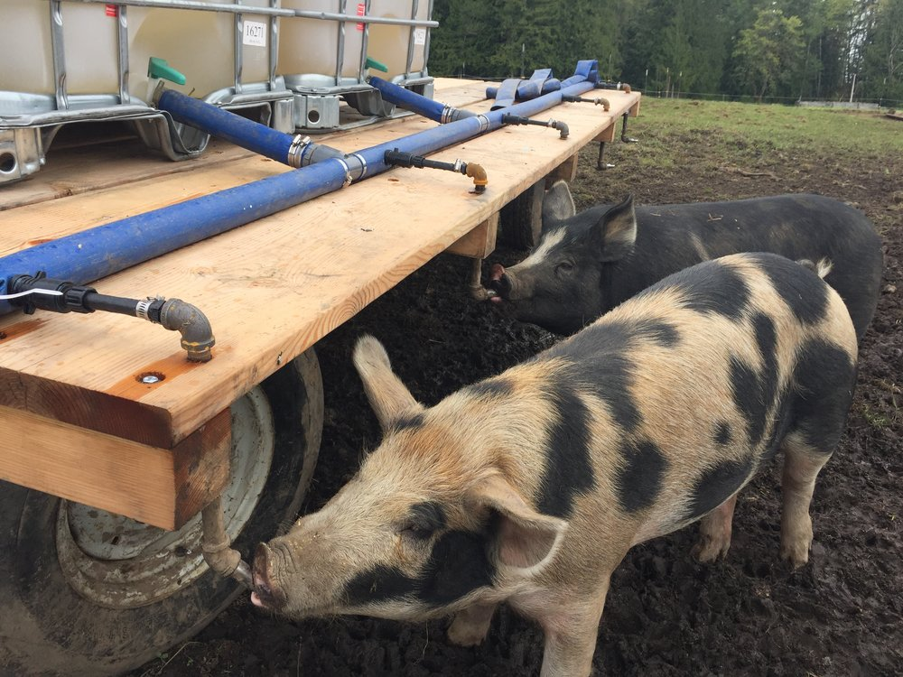 fresh water for the pigs