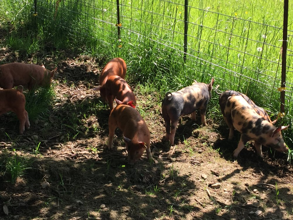 Little pigs at the home site