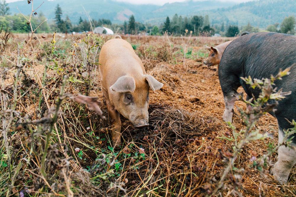 The Hog Call — Alluvial Farms