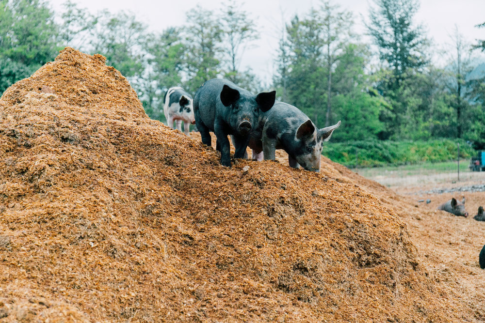 Pigs on mounds of shavings in our sacrifice area around the barn.