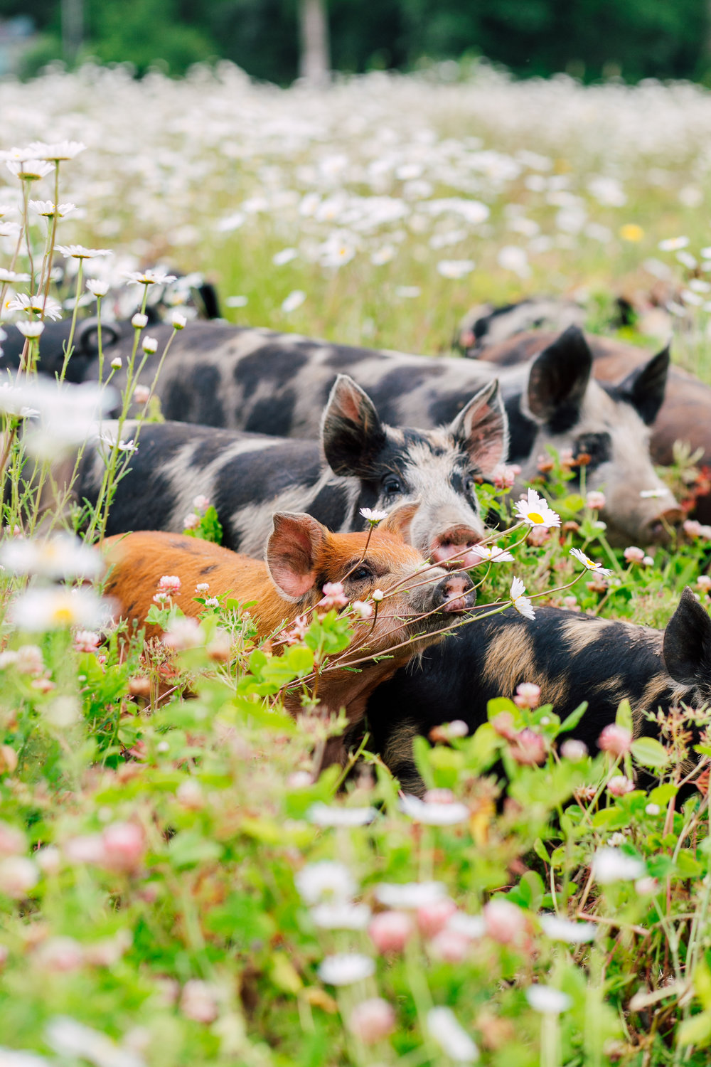 pigs in a rotational paddock in clover and grasses that volunteered in our year one on the site.