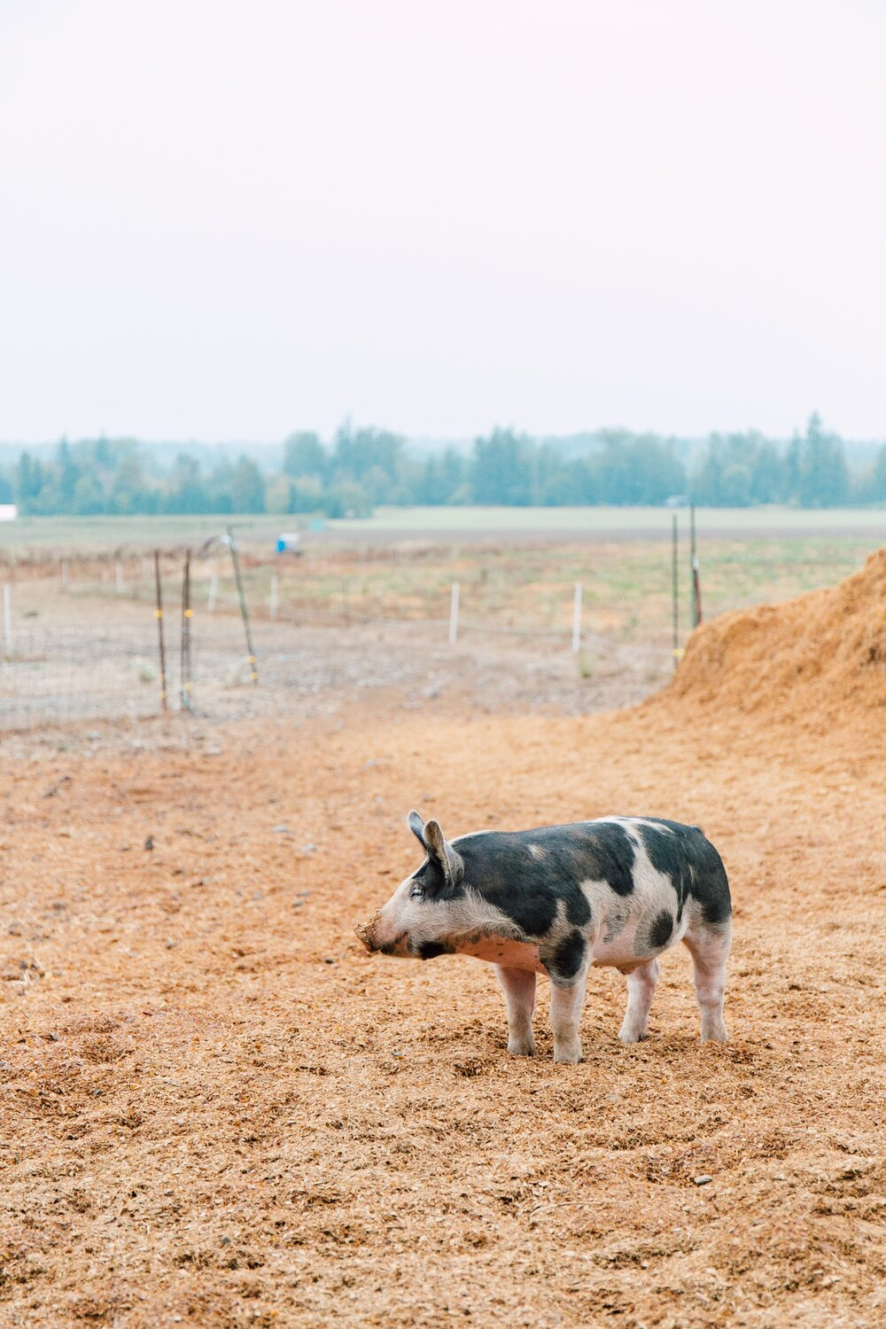 Looking out towards the alley where pigs access rotational paddocks, late August, and a dry time in the field. Kathryn Moran photography captures the colors beautifully.