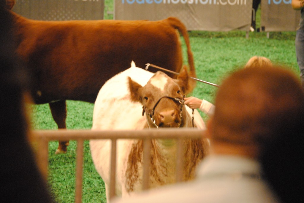 Cows And The Houston Rodeo: Collectively Caitlin www.collectivelycaitlin.com