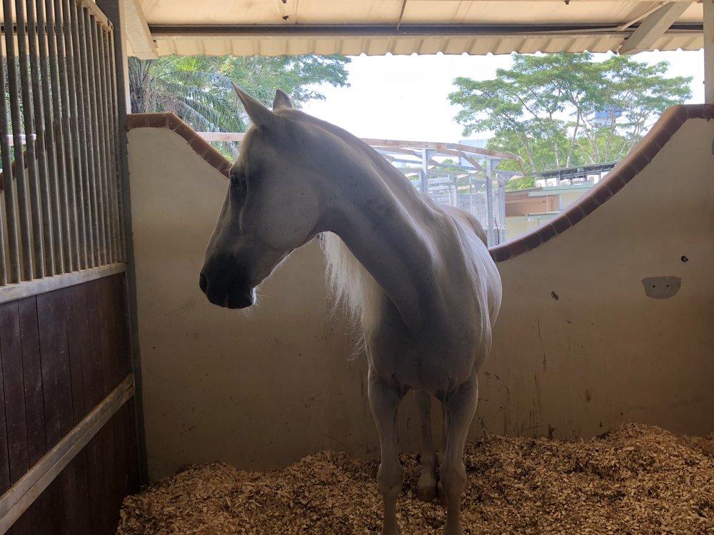 """Meet Tata, my team's stunning """"equus caballus"""" (the scientific term for """"horse"""")."""