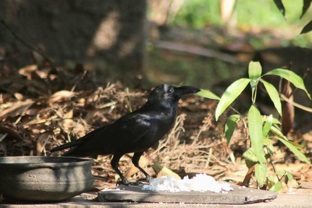 Crow1.jpeg
