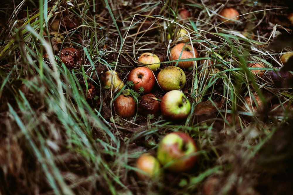 It's harvest time, but no one is picking these apples