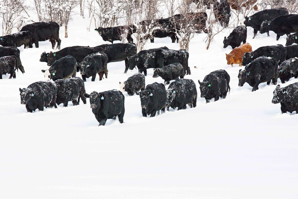 Truly \ Beef cattle come running at the site of the feed truck
