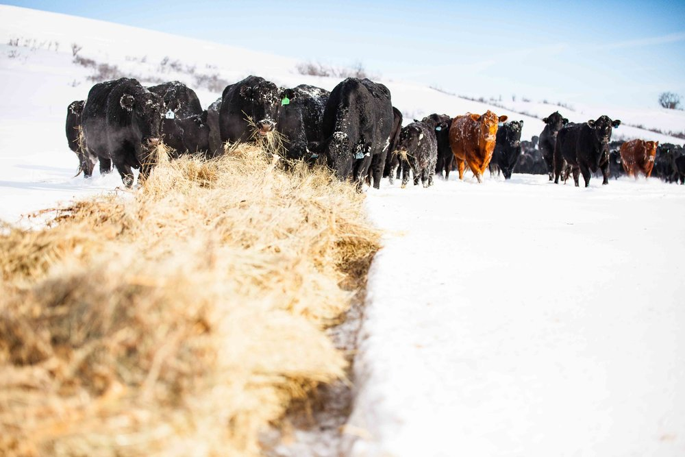 Hungry cows on a winter's morning on a ranch near sheridan wyoming