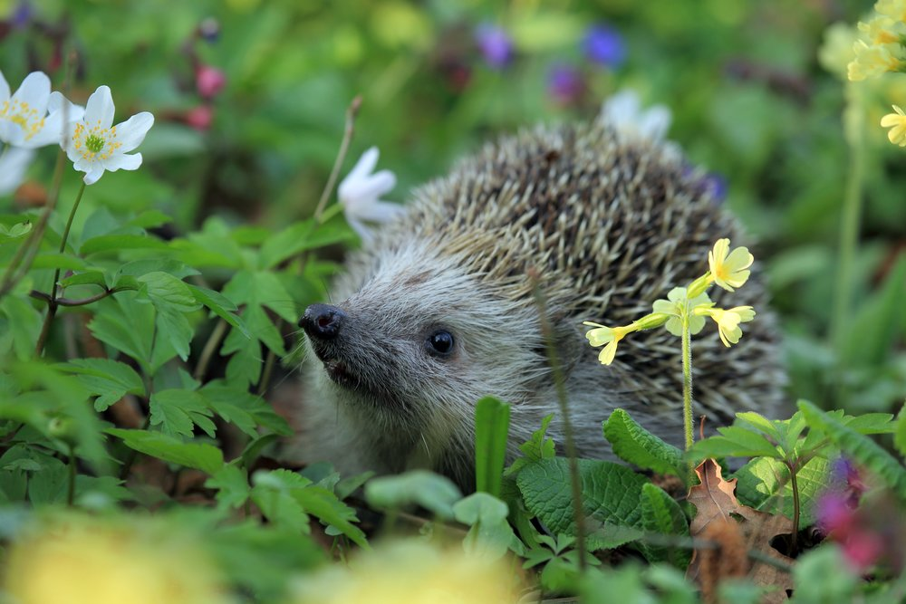 hedgehog-spring-animal.jpg