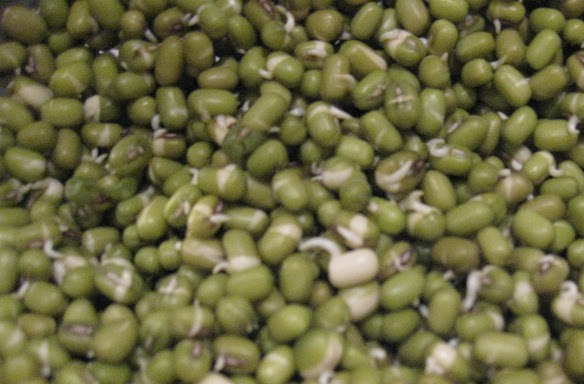 mung bean sprouts 1