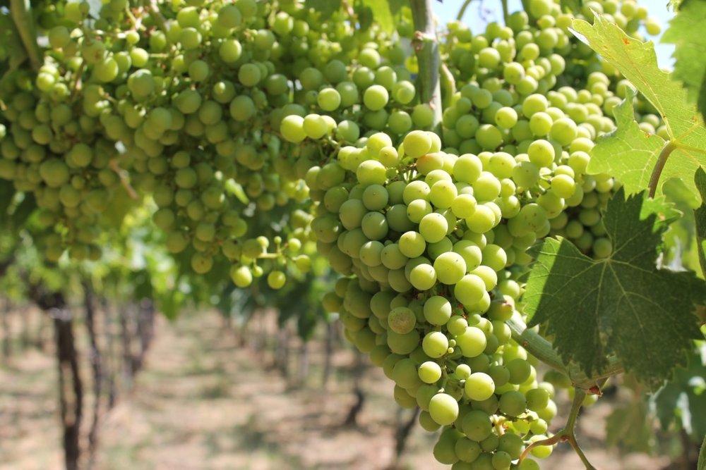 grapes abruzzo.jpg