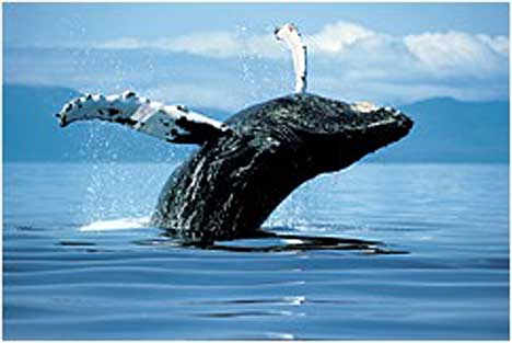 humpback_whale_sfw