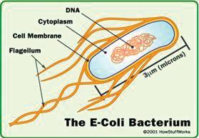 E-Coli Bacterium