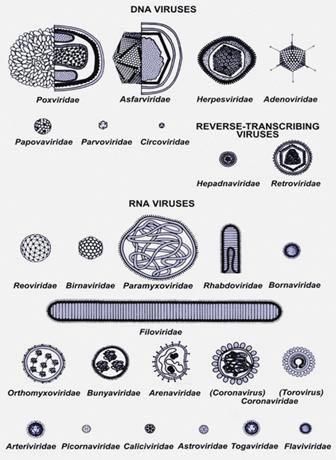 Other virus morphologies (shapes)
