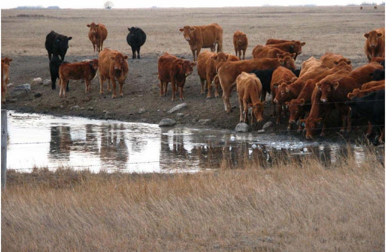 Picture1. Cattle grazing around a water source. What contaminants do you think will end up in the water under these circumstances? Do you think this is healthy for the cattle?
