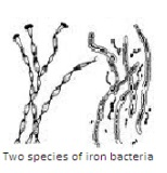 Two Species of Iron Bacteria