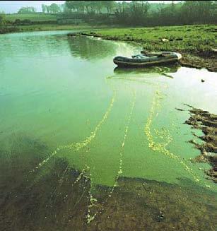 Cette photo démontre bien une concentration élevée de cyanobactéries Microcystis.