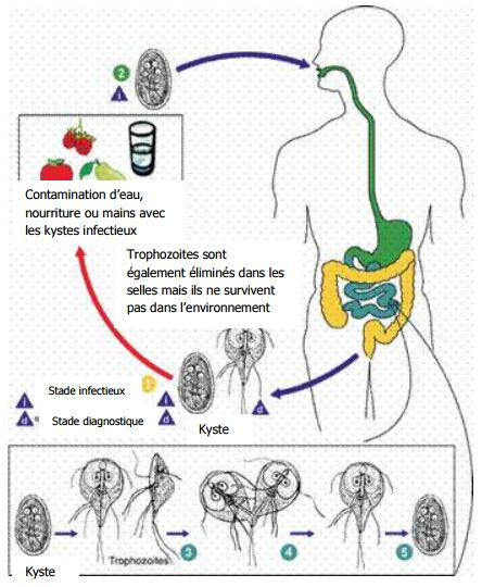 cycle giardia