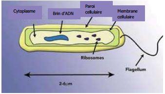 diagramme legionella