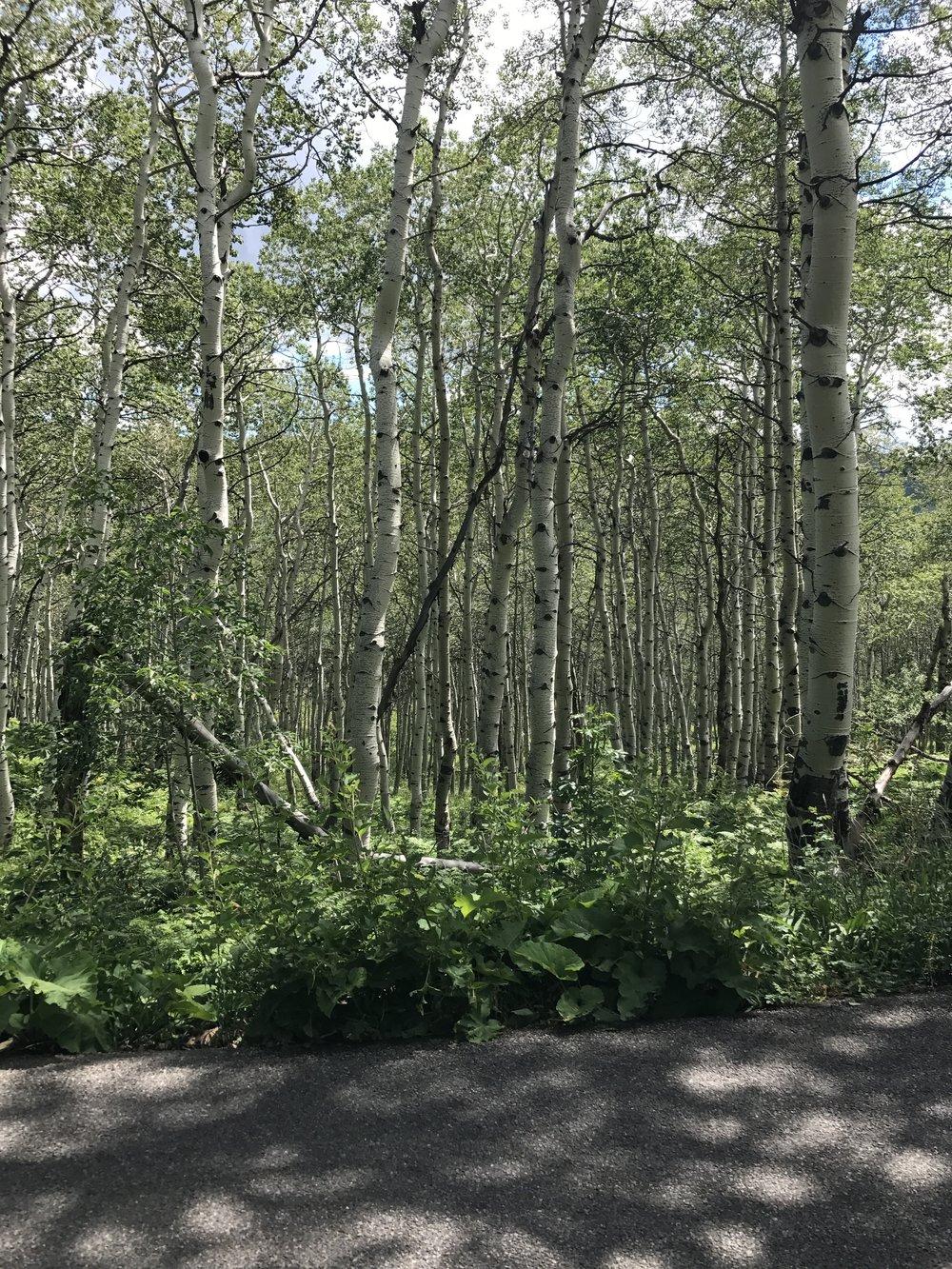 aspen groves 2.JPG