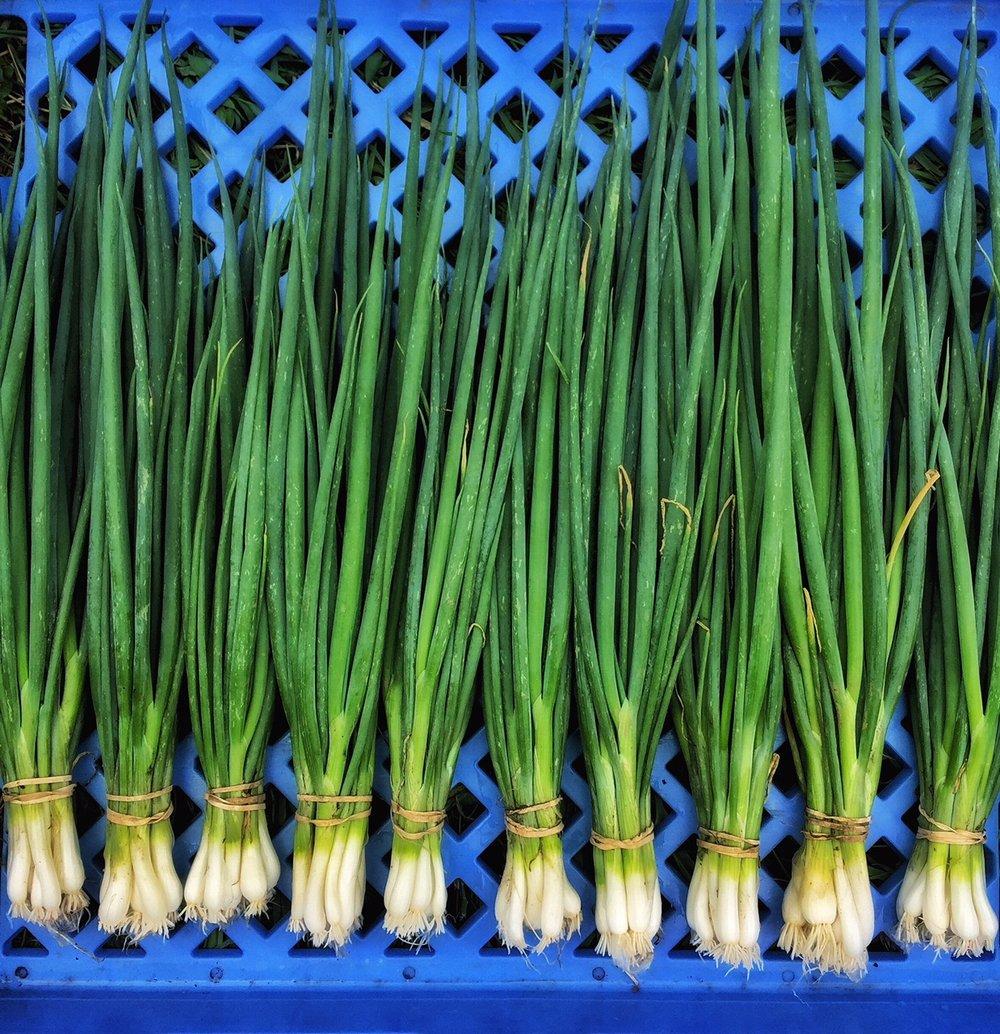 Onions (Bunching)