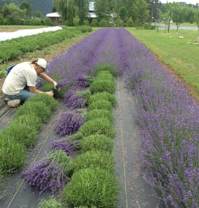 English lavender growing and being hand harvested at an organic family farm in the PNW.