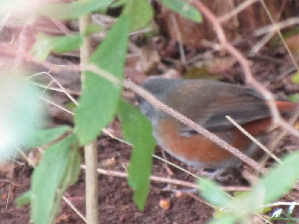 Monterita Rabadilla Roja 1.JPG