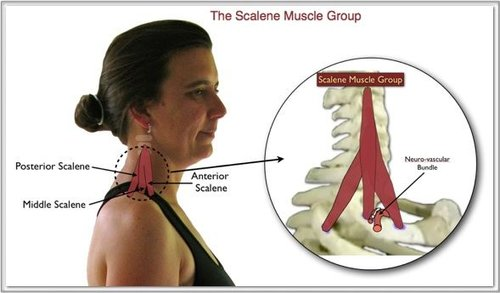 Amazing Facts About Scalene Muscles — Equipose Yoga Studio