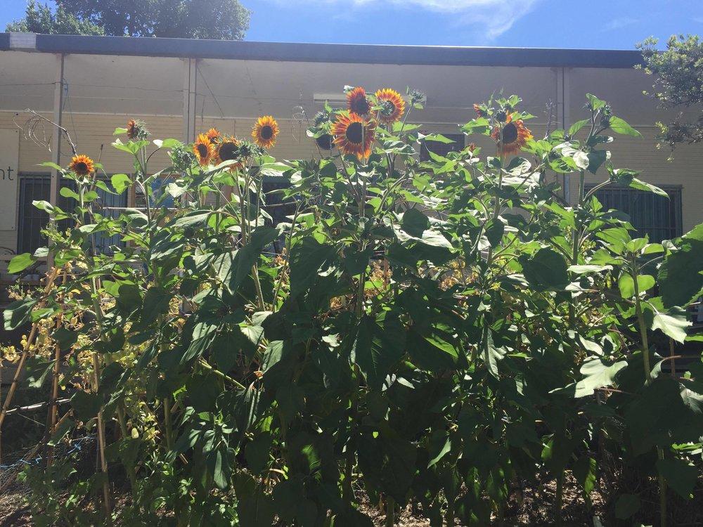 171213 sunflower.jpg