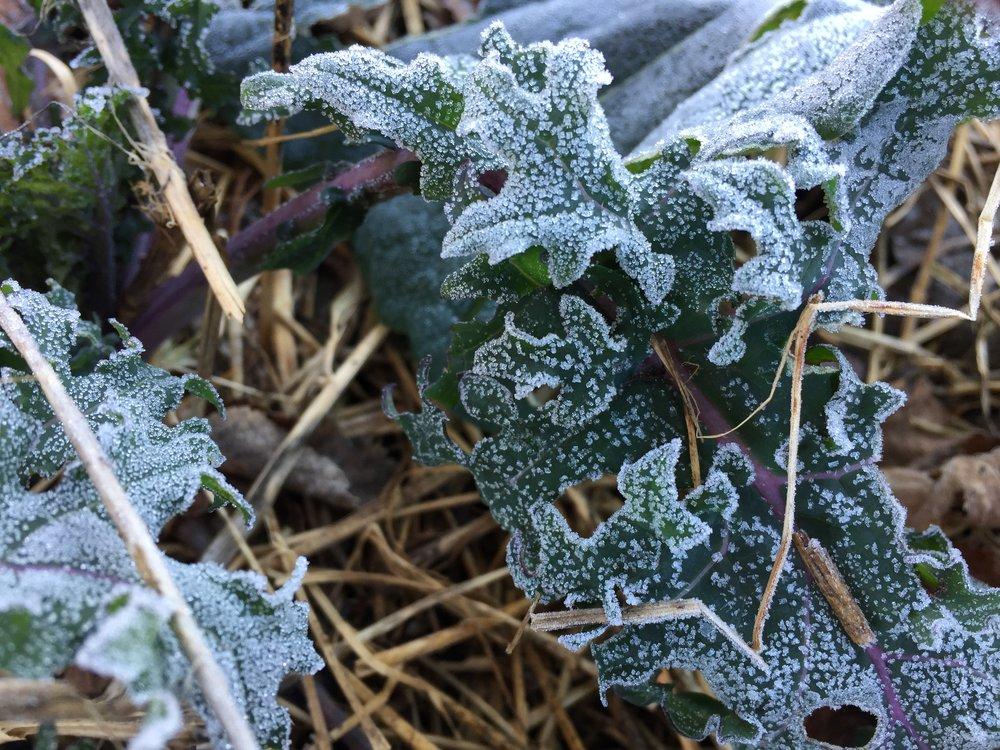 frostykale1.JPG