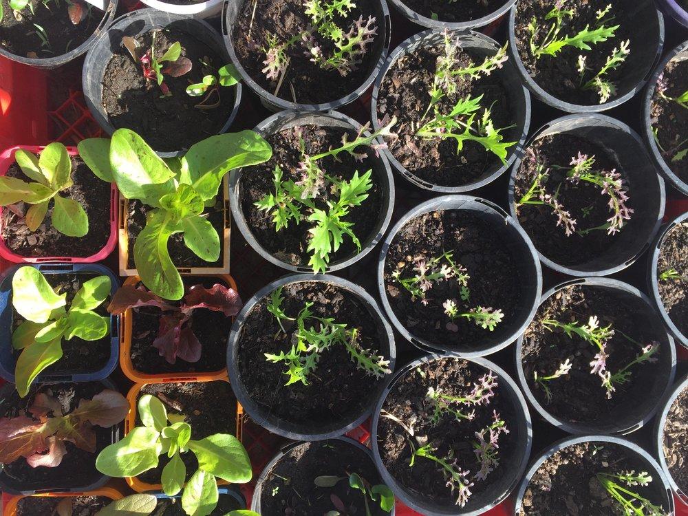Veggies from Seed.jpg