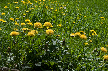 Dandelion is a common weed around Canberra