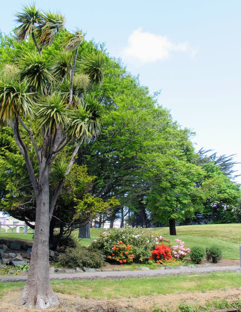 A Cabbage Tree in Invercargill.
