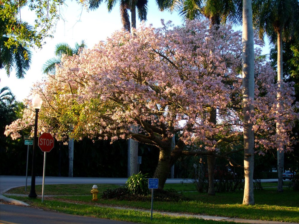 Kapok tree in bloom, Florida