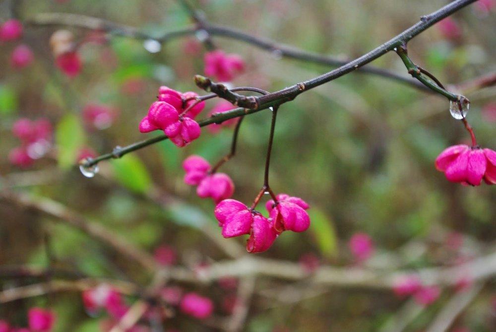 Rainy pink plants, Schwangau, Germany