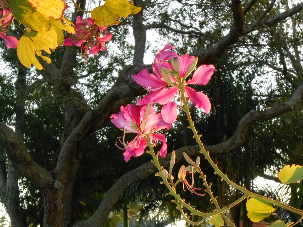Orchid tree, SW Florida
