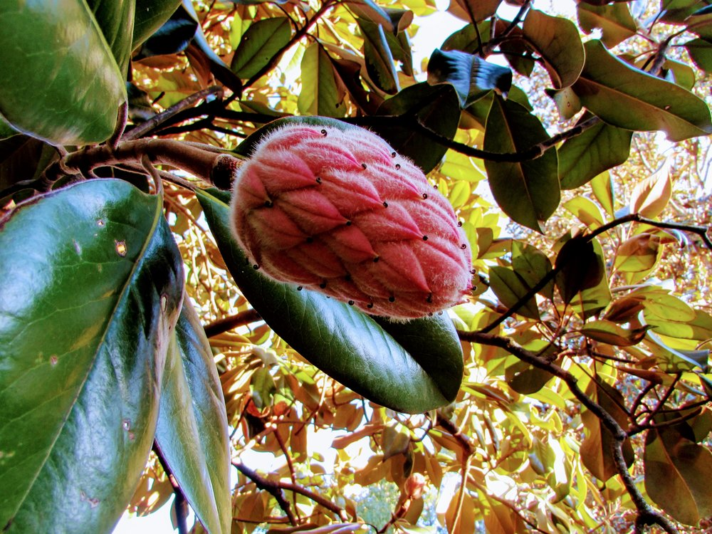 Magnolia flower bud, Charlottesville, Virginia