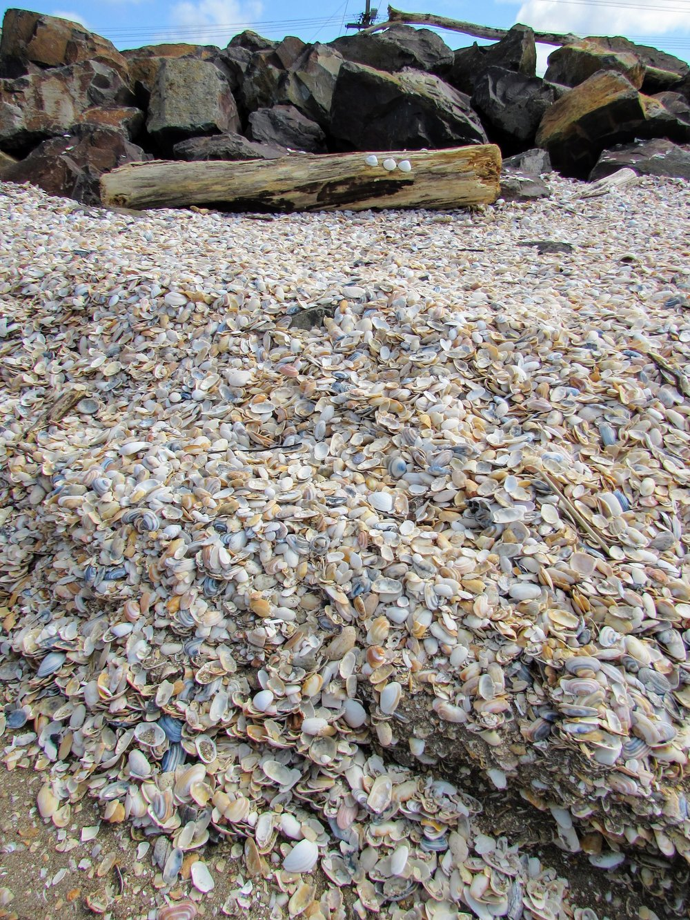 Whitianga shell pile.