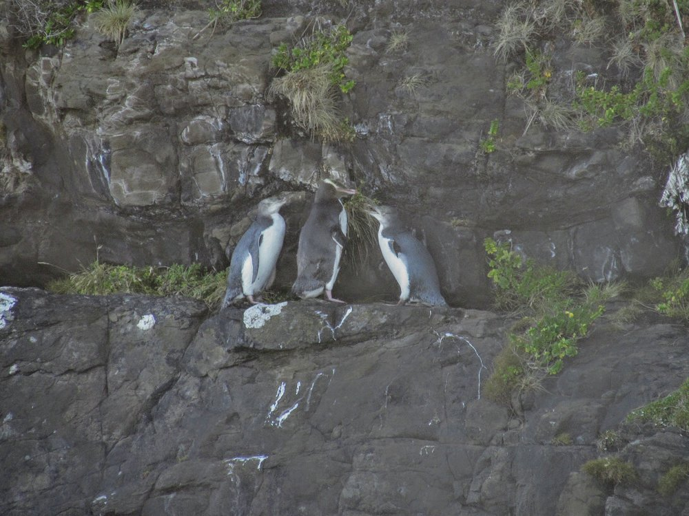 Yellow-Eyed Penguins at Curio Bay, New Zealand