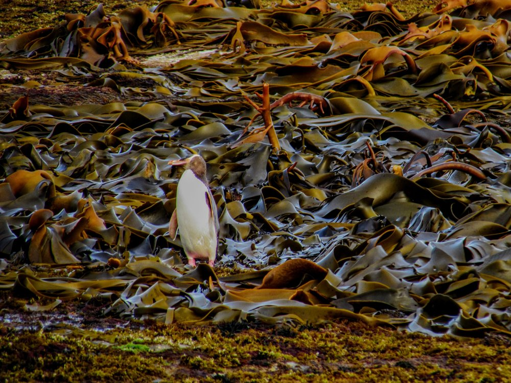A yellow-eyed penguin standing on kelp at Curio Bay, NZ