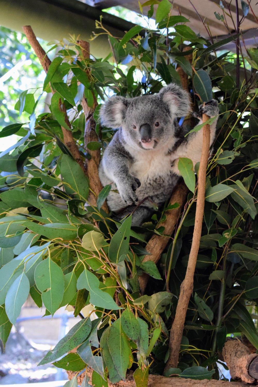 A very cute, inquisitive koala at Lone Pine.