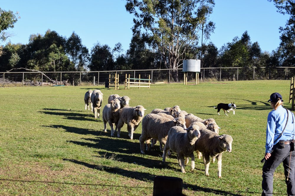 One of Lone Pine's resident sheep dogs brings some sheep into formation.