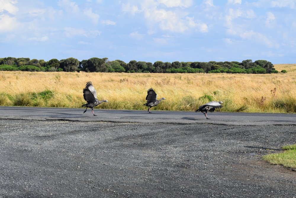 Cape Barren geese claiming their turf.