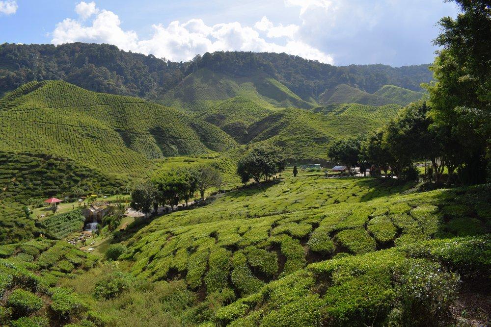 cameron valley tea 2