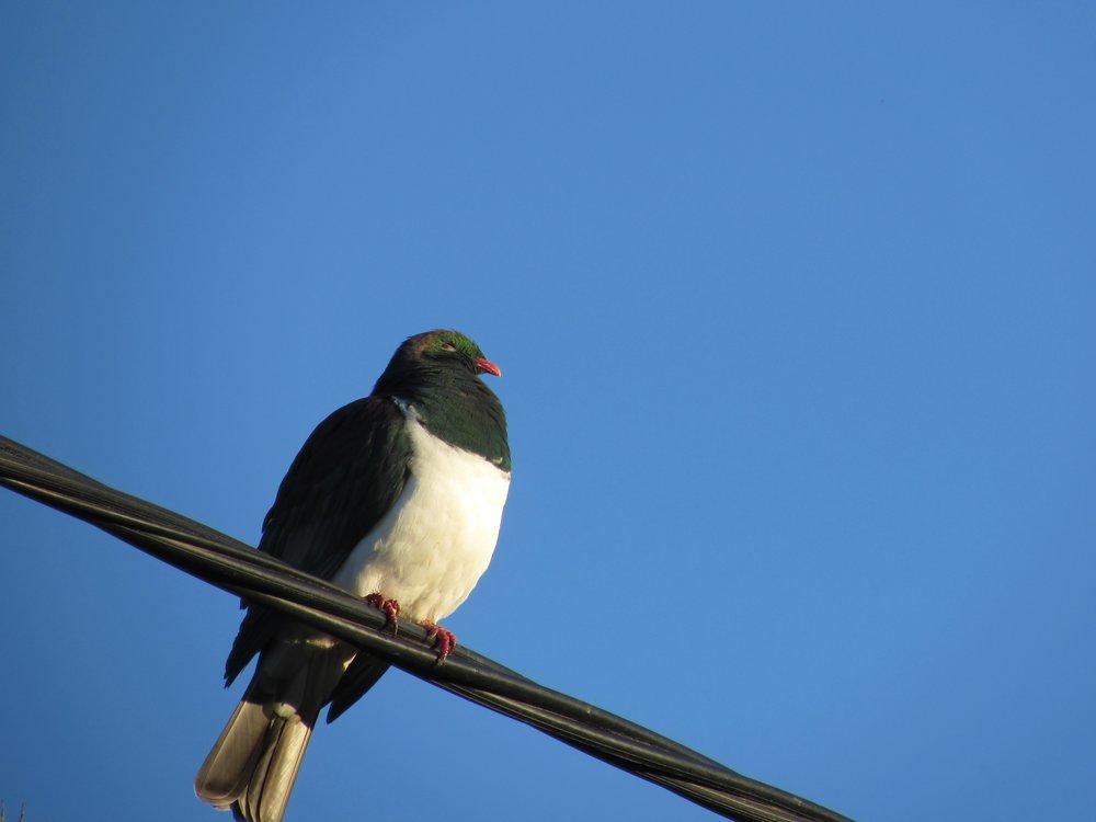 Kereru (New Zealand Wood Pigeon)