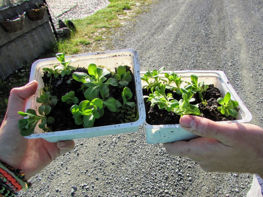 Planting starters in Greymouth, NZ