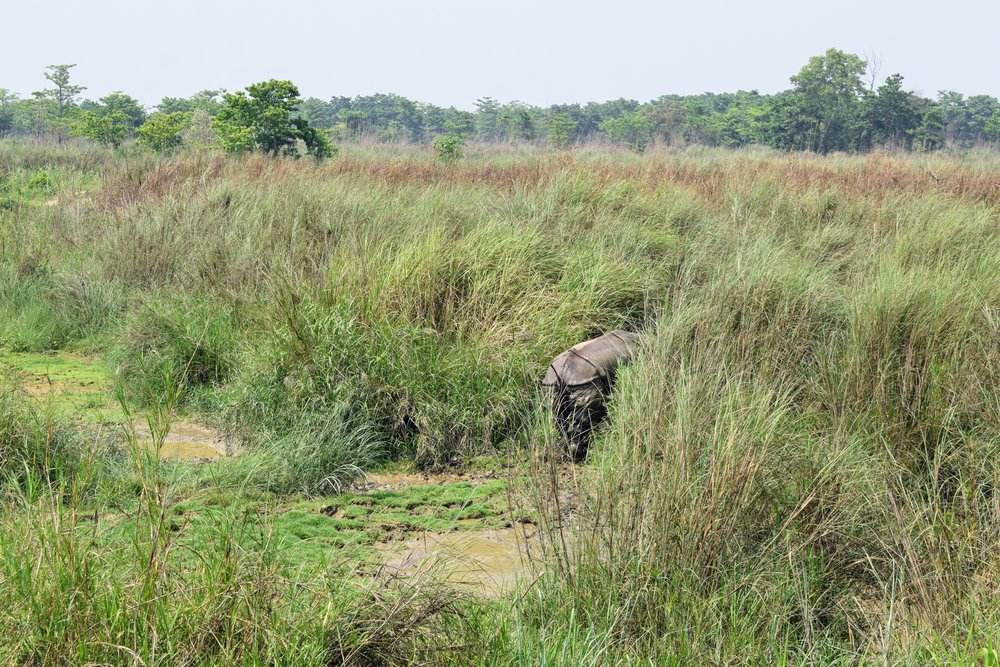 a rhino bum, chitwan national park, nepal